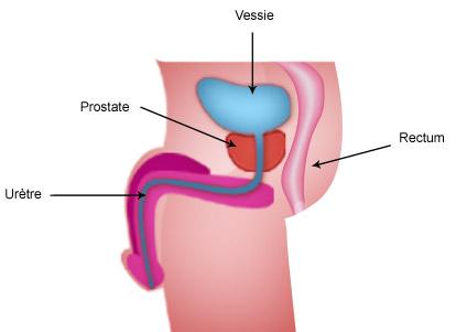 Généralités : la prostate